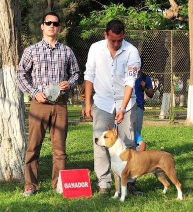 american staffordshire terrier pernales rock cut criadero perros venta alicante