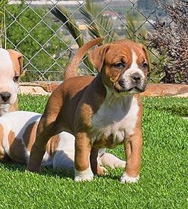 AMERICAN-STAFFORDSHIRE-terrier-hembra-amstaff-stanfford-criadores-perros-comprar-cachorros.jpg-macho-puppy-murcia-roja