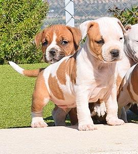 AMERICAN-STAFFORDSHIRE-terrier-hembra-amstaff-stanfford-criadores-perros-comprar-cachorros.jpg-macho-puppy-murcia
