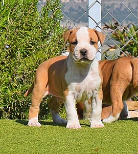 AMERICAN-STAFFORDSHIRE-terrier-hembra-amstaff-stanfford-criadores-perros-comprar-cachorros.jpg-macho-puppy-murcia-blanca-albacete.111