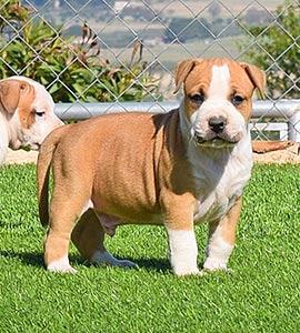 AMERICAN-STAFFORDSHIRE-terrier-hembra-amstaff-stanfford-criadores-perros-comprar-cachorros.jpg-macho