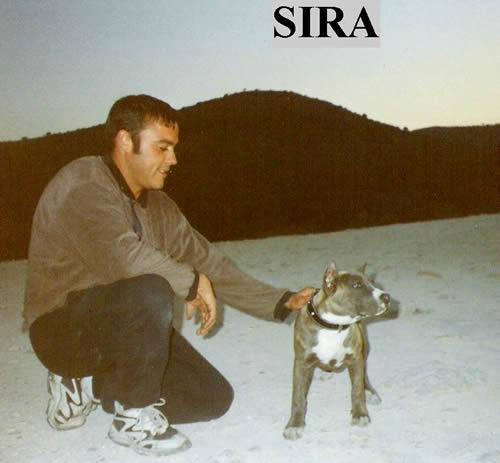 American Stanfford Terrier | Pernales  Sobre | Nosotros