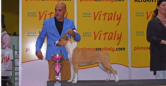 american-staffordshire-terrier-pernales-indian-painted-amstaff