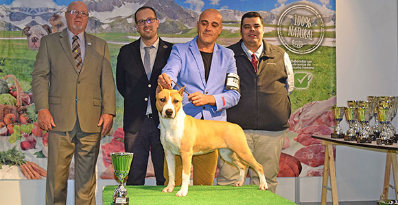 american-staffordshire-terrier-pernales-indian-painted-amstaff-alicante