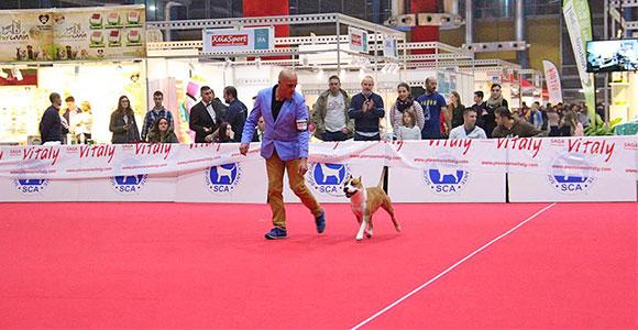american-staffordshire-terrier-pernales-mel-de-romer-amstaff
