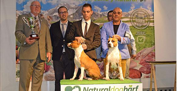 american-staffordshire-terrier-pernales-mel-de-romer-amstaff-jpgparejas