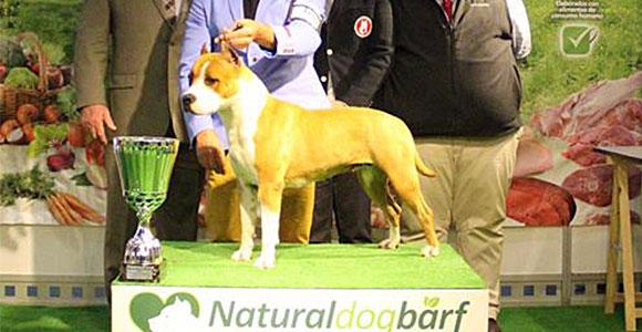 american-staffordshire-terrier-pernales-mel-de-romer-amstaff-stanfford-criador