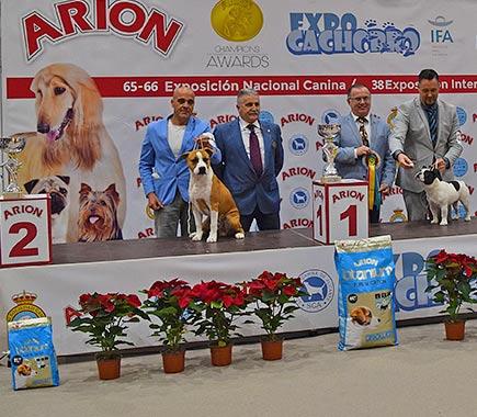 American-staffordshire-terrier-pernales-criador-perros-raza-amstaff-portos