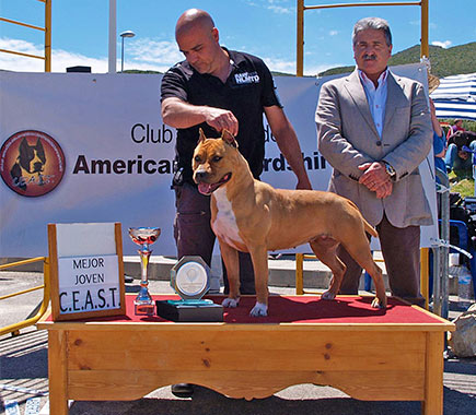 Ch.-Pernales-Simba-american-staffordshire-terrier-amstaff