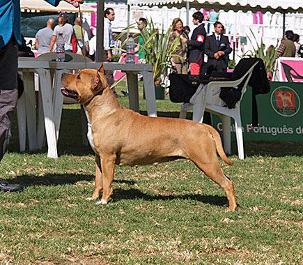 Ch.-pernales-simba-american-staffordshire-amstaff-perros-ciadores