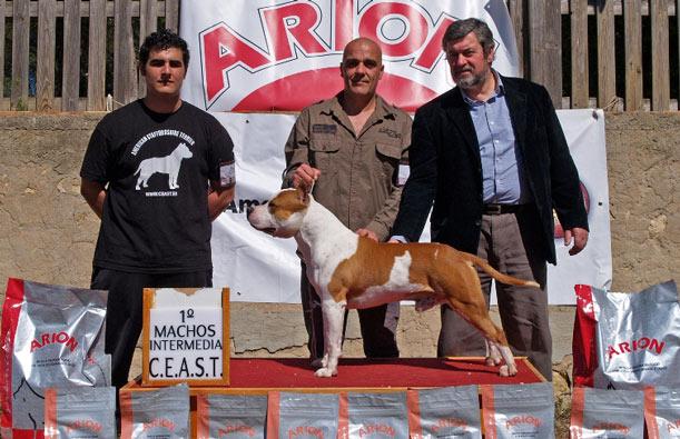 AMERICAN STAFFORDshire terrier pernales white widow amstaff ciadores perros