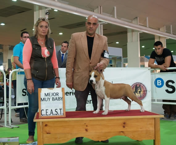 american staffordshire terrier criadero alicante, valencia, murcia amstaff venta cachorros