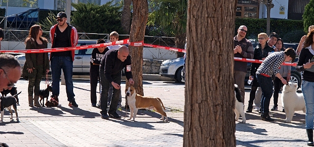 American Staffordshire Terrier Pernales Phuket amstaff perros criadero