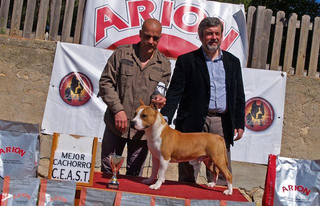 american staffordshire terrier pernales puket amstaff perros criadero alicante