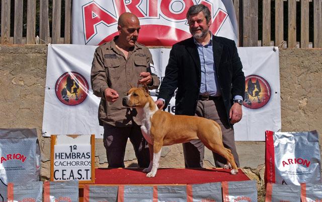 american staffordshire terrier pernales thalia amstaff criadores perros alicante