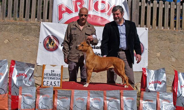 american staffordshire terrier pernales katrina amstaff perros criadero alicante