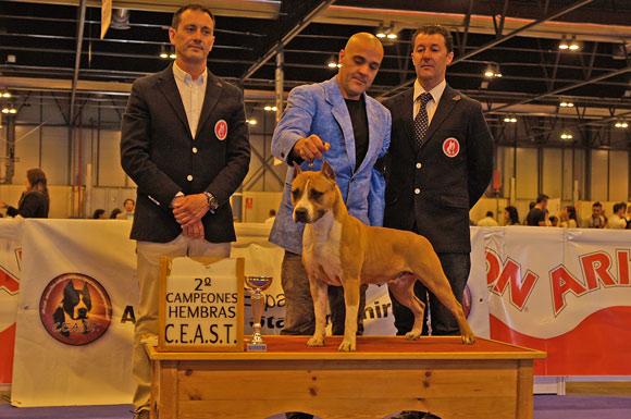 American staffordshire terrier Pernales Red Bead amstaff perros criadores cachorros