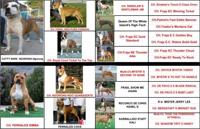 perros hembra raza american staffordshire terrier pedigree