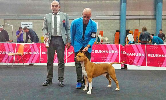 Pernales-Brujo-AMSTAFF-exposicion-nacional-alicante-american-staffordshire-terrier-criadores-perros