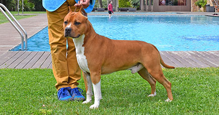 Pernales-Brujo-american-staffordshire-terrier-stanfford-amstaff-alicante-BIAR