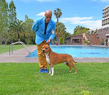 Pernales-Brujo-american-staffordshire-terrier-stanfford-amstaff.-perros-criadores