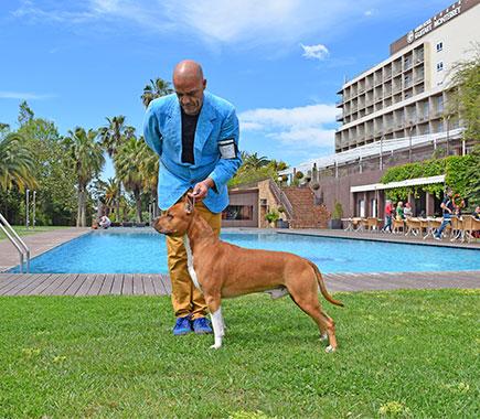 Pernales-Brujo-american-staffordshire-terrier-stanfford-amstaff