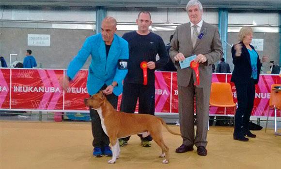 Pernales-Brujo-ccj-exposicion-internacional-alicante-american-staffordshire-terrier-criadores-perros.