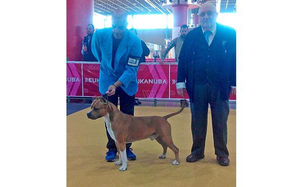 Pernales-Brujo-ccj-exposicion-nacional-alicante-american-staffordshire-terrier-criadores-perros