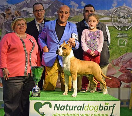 pernales-def-con-dos-perros-criadores-amstaff-american-staffordshire-terrier