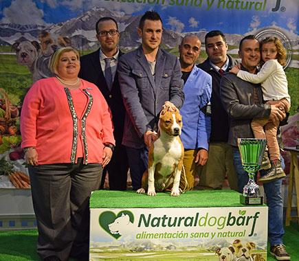 pernales-def-con-uno-perros-criadores-amstaff-american-staffordshire-terrier