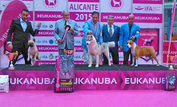Pernales-MEL-de-romer-ccj-exposicion-internacional-alicante-american-staffordshire-terrier-criadores-perros.