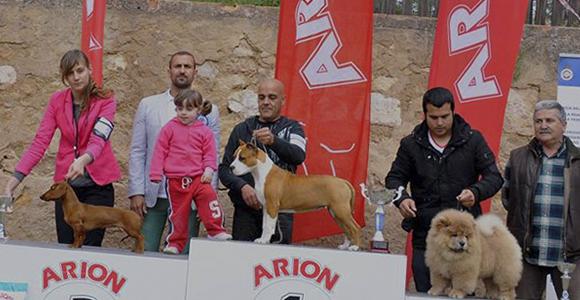Pernales Mel De Romer american staffordshire terrier amstaff criadores alicante jpg