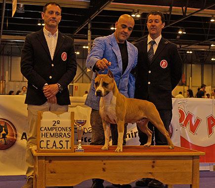 Pernales-Red-Bead-american-staffordshire-terrier-perros-criadero-amstaff-alicante..