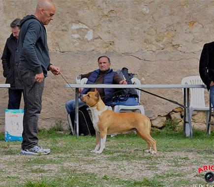 Pernales-Thalia-american-staffordshire-terrier-amstaff-criadores-alicante-