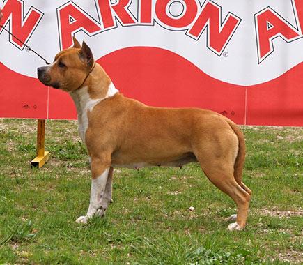 Pernales-Thalia-american-staffordshire-terrier-amstaff-perros-criadores-alicante-