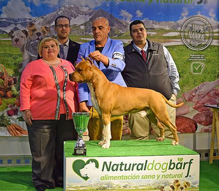 pernales-brujo-perros-criadores-amstaff-american-staffordshire-terrier