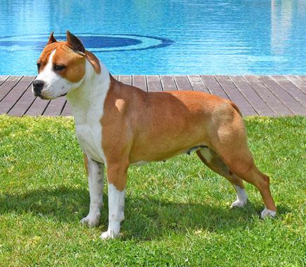 Pernales-mel-de-romer-american-staffordshire-terrier-criadores-perros
