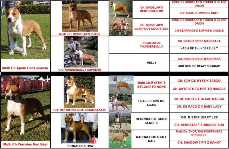 pernales thalia pedigree american staffordshire terrier amstaff criadero perros venta