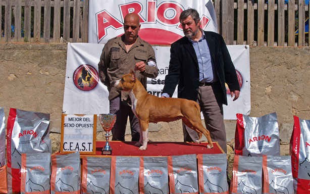 american staffordshire terrier pernales red bead amstaff criadero cachorros