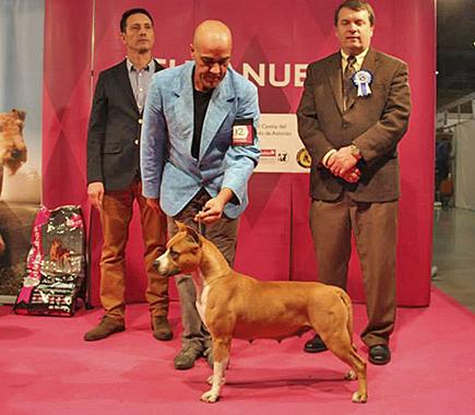american staffordshire ch pernales red bead criadero amstaff alicante perros terrier