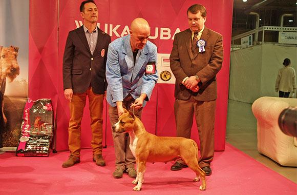 american-staffordshire-ch-pernales-red-bead-criadero-amstaff-alicante-perros-terrier