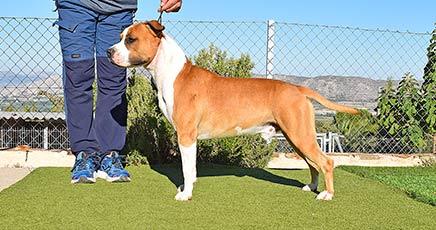 american-staffordshire-pernales-amstaff-raza-perros-cachorros-criadores-stanfford-alicante