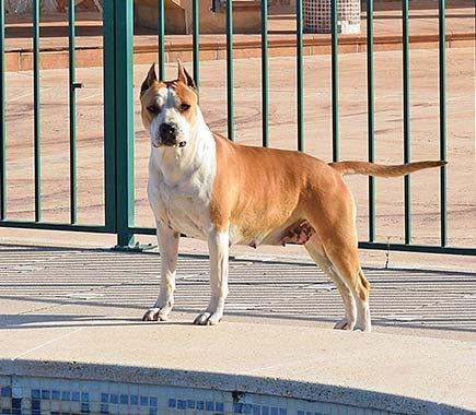 american-staffordshire-pernales-terrier.vaiana-amstaff-stanffordjpg