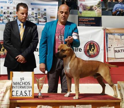 american-staffordshire-perros--amstaff-pernales-criadero-perros-raza-alicante