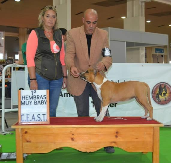 american-staffordshire-raza--amstaff-pernales-venta cachoros-criadero-perros-raza-alicante thalia