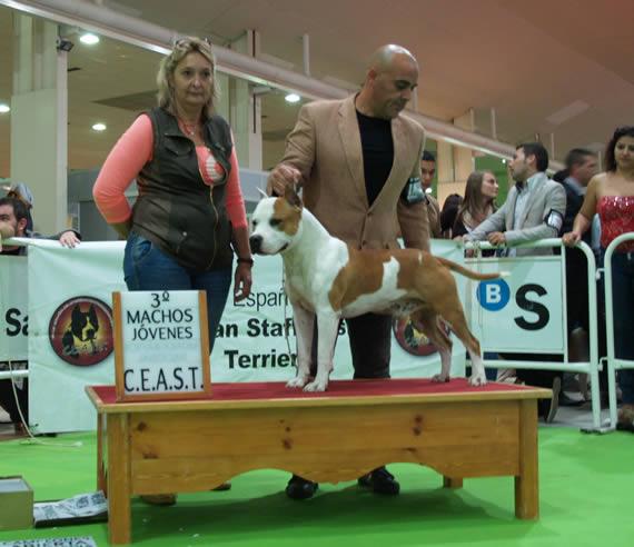 american-staffordshire-raza--amstaff-pernales-venta cachoros-criadero-perros-raza-alicante white widow