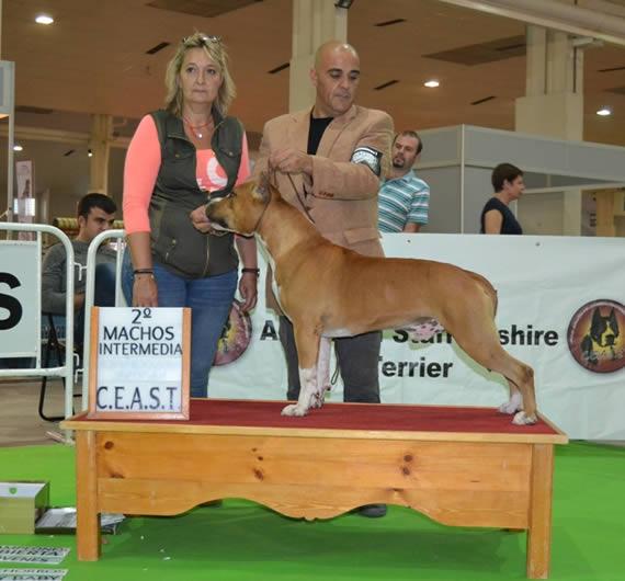 american-staffordshire-raza--amstaff-pernales-venta cachoros-criadero-perros-raza-alicante.PUKET