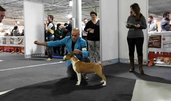 american-staffordshire-raza--amstaff-pernales-venta cachoros-criadero-perros-raza-alicante.pg