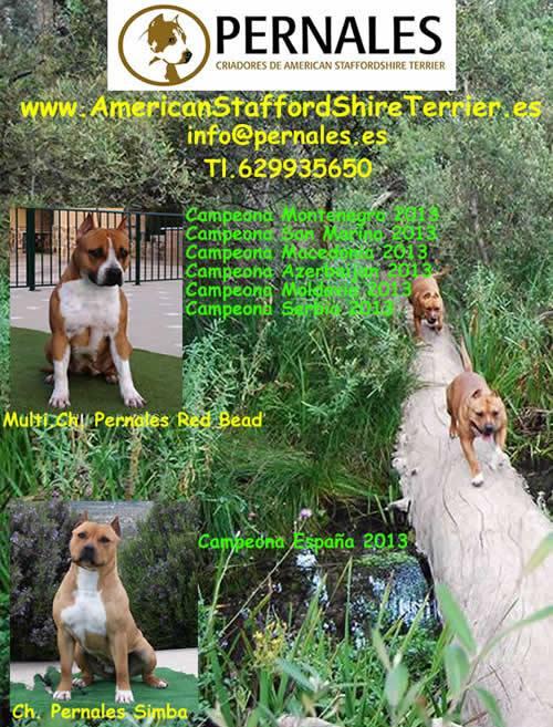 american-staffordshire-raza--amstaff-pernales-venta cachoros-criadero-perros-raza-alicante