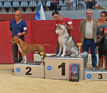 american-staffordshire-stanfford-terrier-pernales-brujo